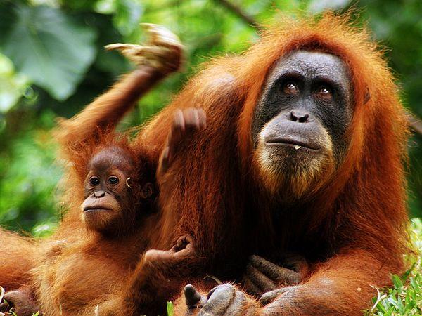 Orangutan, sumatera